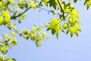 モミジバフウの新緑と空の写真素材 [FYI00095829]