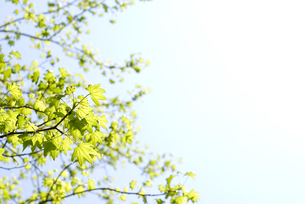 モミジバフウの新緑と空の写真素材 [FYI00095837]