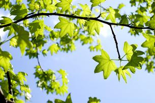 モミジバフウの新緑と空の写真素材 [FYI00095838]