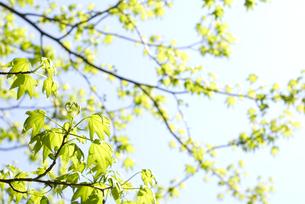 モミジバフウの新緑と空の写真素材 [FYI00095841]