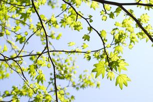 モミジバフウの新緑と空の写真素材 [FYI00095842]