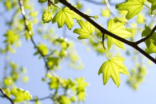 モミジバフウの新緑と空の写真素材 [FYI00095855]