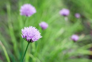 アサツキの花の写真素材 [FYI00095990]