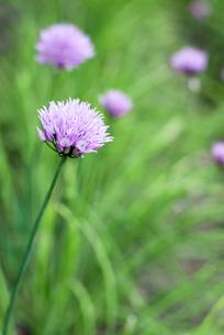 アサツキの花の写真素材 [FYI00095993]