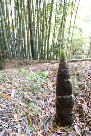 タケノコと竹林の素材 [FYI00095999]