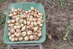 収穫したタマネギの写真素材 [FYI00096034]