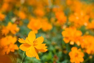 キバナコスモスの花畑の写真素材 [FYI00096131]