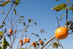 実った柿の実と空の写真素材 [FYI00096135]