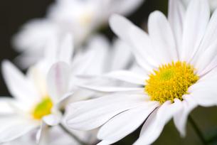 白い菊の花の写真素材 [FYI00096147]