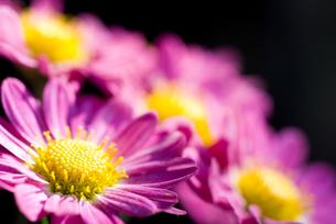 赤紫色の菊の花の写真素材 [FYI00096160]