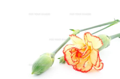 ツートンカラーのカーネーションの花の素材 [FYI00096332]