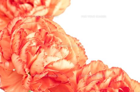 オレンジ色のカーネーションの花のクローズアップの素材 [FYI00096390]