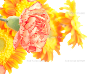ガーベラをバックにオレンジ色のカーネーションの素材 [FYI00096404]