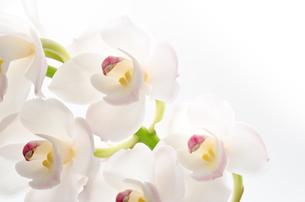 白いシンビジウムの花のクローズアップの写真素材 [FYI00096450]