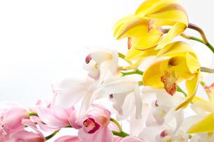 三色のシンビジウムの花の写真素材 [FYI00096452]