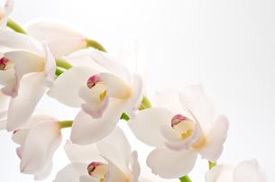 白いシンビジウムの花の写真素材 [FYI00096454]
