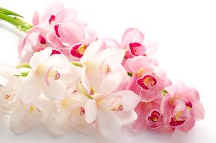 白と紫のシンビジウムの花の写真素材 [FYI00096456]
