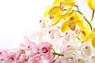 三色のシンビジウムの花の写真素材 [FYI00096460]