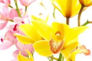 黄色いシンビジウムの花のアップの写真素材 [FYI00096472]