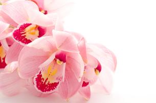 紫のシンビジウムの花のクローズアップの写真素材 [FYI00096481]