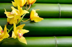 竹をバックに黄色いシンビジウムの花の写真素材 [FYI00096496]