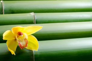 竹をバックに1輪の黄色いシンビジウムの花の写真素材 [FYI00096498]