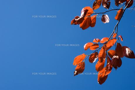 カキノキの紅葉と青空の写真素材 [FYI00096592]