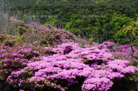 霧島のミヤマキリシマの花の素材 [FYI00096609]