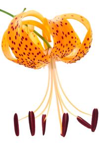 オニユリの花の写真素材 [FYI00096611]