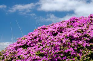 霧島のミヤマキリシマの花の素材 [FYI00096613]