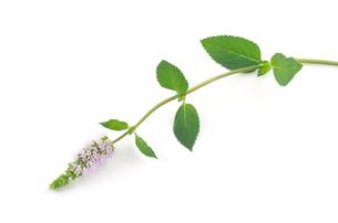 ペパーミントの花の写真素材 [FYI00096651]