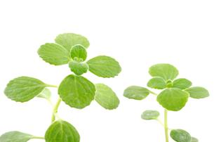 2本のアロマティカス(スープミント、キュバンオレガノ)の苗の写真素材 [FYI00096715]