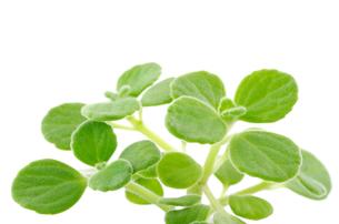 アロマティカス(スープミント、キュバンオレガノ)の苗の写真素材 [FYI00096725]