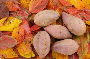 落ち葉の上のサツマイモの写真素材 [FYI00096813]