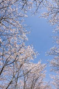 ソメイヨシノの花と空の写真素材 [FYI00096859]