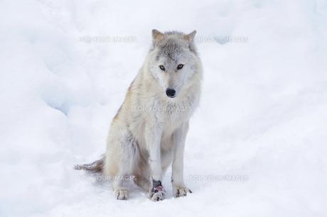 アメリカオオカミの写真素材 [FYI00097128]