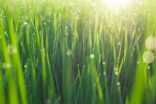 朝露にぬれた稲 日の出の写真素材 [FYI00098229]