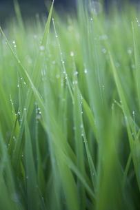 露にぬれた稲の写真素材 [FYI00098250]