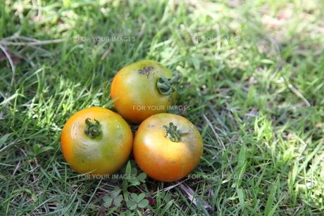 トマトの写真素材 [FYI00098424]