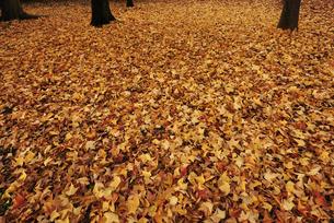 落葉の絨毯の写真素材 [FYI00098702]