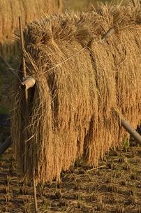 夕日に映える稲木干しの写真素材 [FYI00098973]