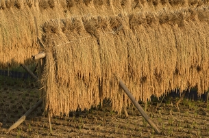 夕日に映える稲木干しの写真素材 [FYI00098978]