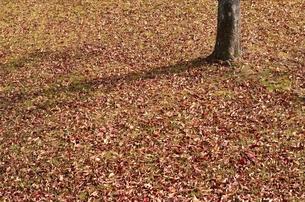 落ち葉の写真素材 [FYI00099031]