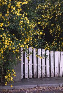 黄色い花とフェンスの写真素材 [FYI00099148]