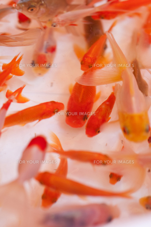 金魚すくいの写真素材 [FYI00100400]