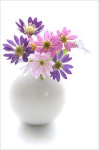白い花瓶の都忘れの写真素材 [FYI00100510]