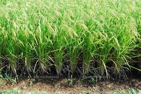 稲の写真素材 [FYI00100524]