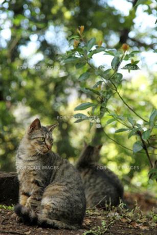 見返り猫の写真素材 [FYI00100569]