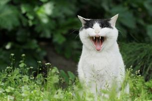 猫笑うの素材 [FYI00100589]