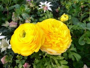 黄色い花の写真素材 [FYI00100611]